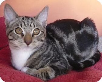 Domestic Shorthair Cat for adoption in Castro Valley, California - Buddy