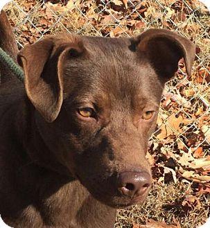 Labrador Retriever Mix Puppy for adoption in Washington, D.C. - Rufus