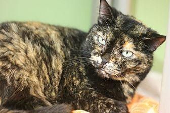 Domestic Shorthair Cat for adoption in Canoga Park, California - Mona