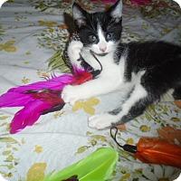 Adopt A Pet :: Pepe Le Purr - Chicago, IL
