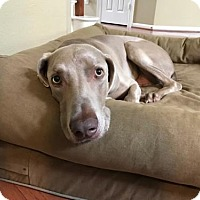 Weimaraner Dog for adoption in Dallas, Texas - GRADY-Houston