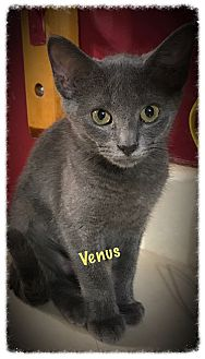 Russian Blue Kitten for adoption in Cleveland, Tennessee - Venus