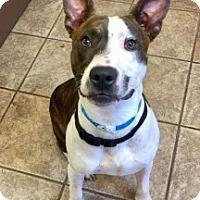 Bull Terrier/Pit Bull Terrier Mix Dog for adoption in Joplin, Missouri - Minor 6983