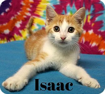 Maine Coon Kitten for adoption in Taylor Mill, Kentucky - Isaac-Cutie Patootie!