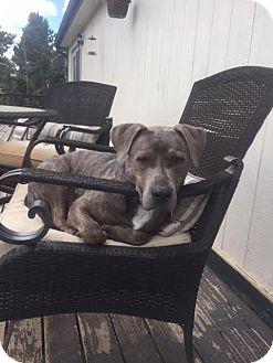 Pit Bull Terrier Mix Dog for adoption in Denver, Colorado - Noah