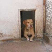 Beagle/Labrador Retriever Mix Dog for adoption in Wichita, Kansas - farley