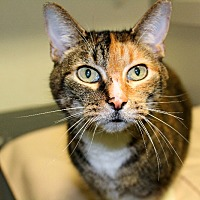 Calico Cat for adoption in Martinsville, Indiana - Daisy Hopper