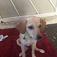 Adopt A Pet :: PUPPY 1 Blonde - Chandler, AZ