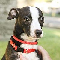 Adopt A Pet :: Dice - Houston, TX