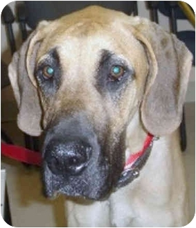 Great Dane Puppy for adoption in Hanover, Maryland - MARIGOLD