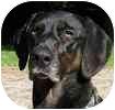 Pointer Mix Dog for adoption in Hamilton, Ontario - Steve