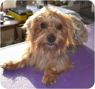 Yorkie, Yorkshire Terrier Dog for adoption in Greensboro, North Carolina - Beau