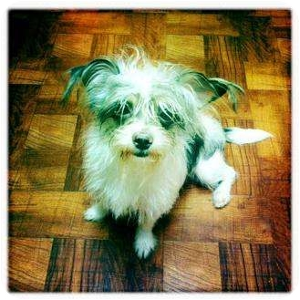 Schnauzer (Miniature)/Chihuahua Mix Puppy for adoption in Houston, Texas - Gremlin (so cute)