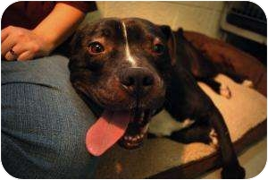 Staffordshire Bull Terrier Mix Dog for adoption in Warren, Michigan - Buddy