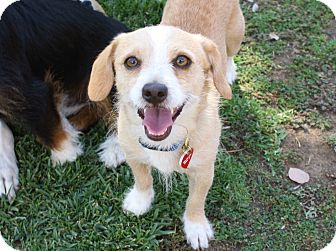 Terrier (Unknown Type, Small)/Beagle Mix Dog for adoption in Yorba Linda, California - Allister