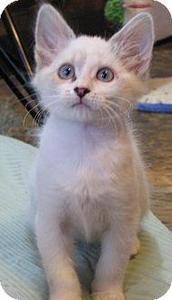 Siamese Kitten for adoption in Davis, California - Blot