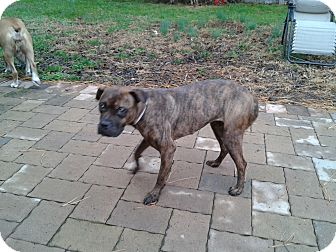 Boxer/Terrier (Unknown Type, Small) Mix Dog for adoption in Pilesgrove, New Jersey - Samantha (Mimi)