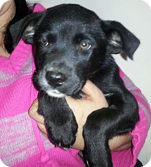 Labrador Retriever Mix Puppy for adoption in Hammonton, New Jersey - Fidget