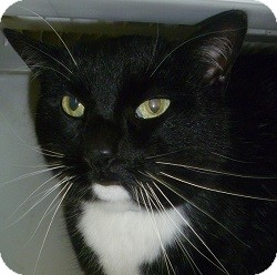 Domestic Shorthair Cat for adoption in Hamburg, New York - Reed