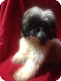Shih Tzu Puppy for adoption in Hazard, Kentucky - Bambi