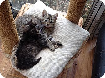 Domestic Longhair Kitten for adoption in Zanesville, Ohio - Star