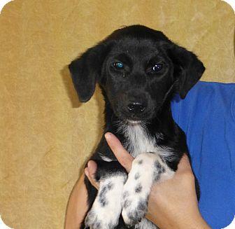 Border Collie/Labrador Retriever Mix Puppy for adoption in Oviedo, Florida - Meg