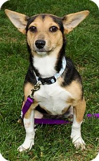 Beagle/Corgi Mix Dog for adoption in Harrisonburg, Virginia - Misha