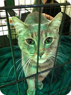 Domestic Shorthair Cat for adoption in Queensbury, New York - Sadie