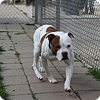 Pit Bull Terrier Mix Dog for adoption in Lake Odessa, Michigan - Patches
