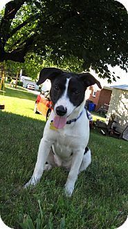 German Shorthaired Pointer/Parson Russell Terrier Mix Puppy for adoption in Mechanicsburg, Pennsylvania - Bunny