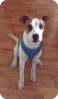 Jack Russell Terrier/Boxer Mix Puppy for adoption in Pasadena, California - RUSSELL