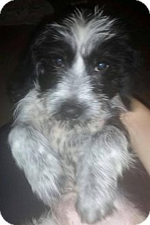 Terrier (Unknown Type, Small) Mix Puppy for adoption in Irmo, South Carolina - Muffin