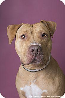 Labrador Retriever Mix Dog for adoption in Brookhaven, New York - Iris