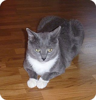 Domestic Shorthair Cat for adoption in Fountain Hills, Arizona - Bear