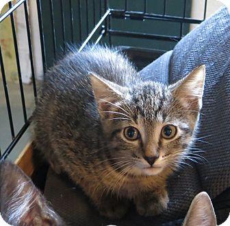 Domestic Shorthair Kitten for adoption in Geneseo, Illinois - Danny