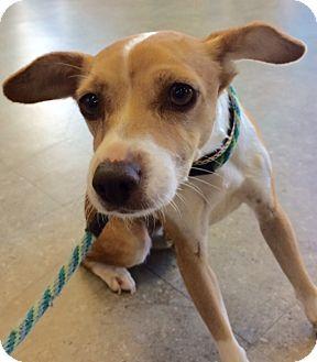 Italian Greyhound/Chihuahua Mix Dog for adoption in San Pedro, California - Viva