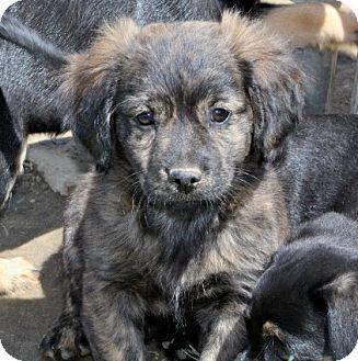 Cockapoo/Feist Mix Puppy for adoption in Liberty Center, Ohio - Raspberry