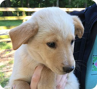 Golden Retriever Mix Puppy for adoption in Pewaukee, Wisconsin - Lilith- mom is purebred Golden