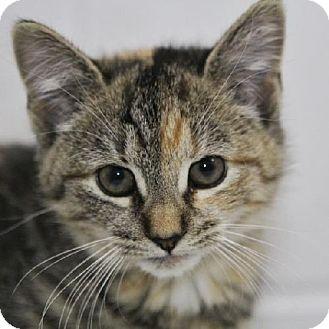 Domestic Shorthair Kitten for adoption in Salem, Massachusetts - Hanna