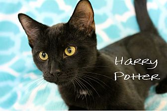Domestic Shorthair Kitten for adoption in Wichita Falls, Texas - Harry  Potter