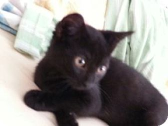 Domestic Shorthair Kitten for adoption in Proctorville, Ohio, Ohio - Charlie