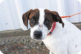 Boxer/Hound (Unknown Type) Mix Puppy for adoption in Mayflower, Arkansas - Oz