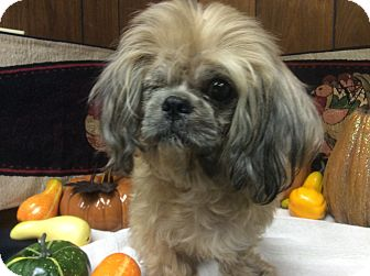 Shih Tzu Mix Dog for adoption in Tavares, Florida - Jack