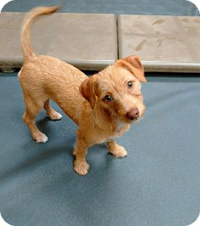 Chihuahua Mix Puppy for adoption in Tavares, Florida - Mandee