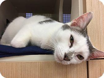 Domestic Shorthair Cat for adoption in Islip, New York - Riley