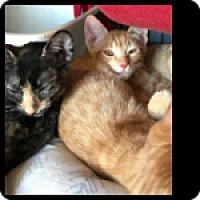 Adopt A Pet :: Fig Newton - Fallbrook, CA