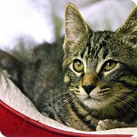 Adopt A Pet :: Pepper - Little Rock, AR