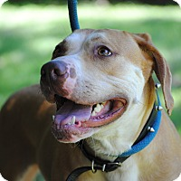 Adopt A Pet :: Layla - Monroe, CT