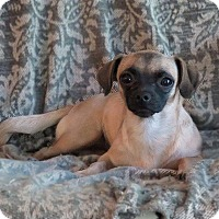 Pug/Chihuahua Mix Dog for adoption in Syracuse, New York - Lil Bit
