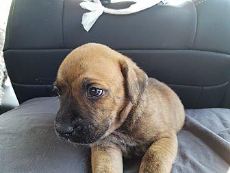 Boxer Mix Puppy for adoption in Oakbank, Manitoba - SEAN